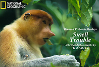 A female proboscis monkey  (Nasalis larvatus) munches on leaves in Kinabatangan Wildlife Sanctuary, Borneo Island.