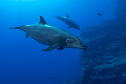Female Bottlenose Dolphin, Tursiops truncatus, in the process of giving birth. The Boiler, San Benedicto Island, Revillagigedo Archipelago, Mexico, Pacific Ocean