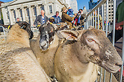 Freemen of the City of London exercise their right to drive sheep across London Bridge –  organised by the Worshipful Company of Woolmen, it is one of London's ancient traditions, dating back more than 800 years.  This year it was attended by Shaun the Sheep, ahead of the 'Shaun in the City' arts trail coming to London in spring 2015.  The event aims not only to put the spotlight on British lamb and wool but also to raise funds for the Lord Mayor's Appeal. Last year's event raised more than £40,000, part of the £43 million raised for charity by the 110 City of London Livery Companies last year. This year's event involved more than 600 freemen drawn from the City's 110 Livery Companies and twenty sheep, provided for the event by a farmer from Bedfordshire, with only ten at a time driven across the bridge. 05 Oct 2014.