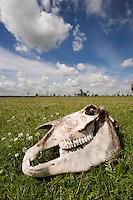 Konik horse skull. Oostvaardersplassen, Netherlands. Mission: Oostervaardersplassen, Netherlands, June 2009.