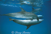 Atlantic spotted dolphins, Stenella frontalis, courtship - pre-copulatory embrace (male below, Little Bahama Bank, Bahamas ( Western Atlantic Ocean )
