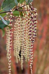 Garrya × issaquahensis 'Glasnevin Wine'. Silk Tassel Brush