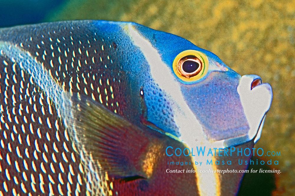French angelfish, juvenile, Pomacanthus paru, Key Largo, Florida, Atlantic Ocean