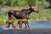 Artistic watercolor effects applied to a photograph of a cow moose and two calves crossing a small stream in Grand Teton National Park.