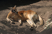 The red kangaroo (Osphranter rufus) is the largest of all kangaroos, the largest terrestrial mammal native to Australia, and the largest extant marsupial.