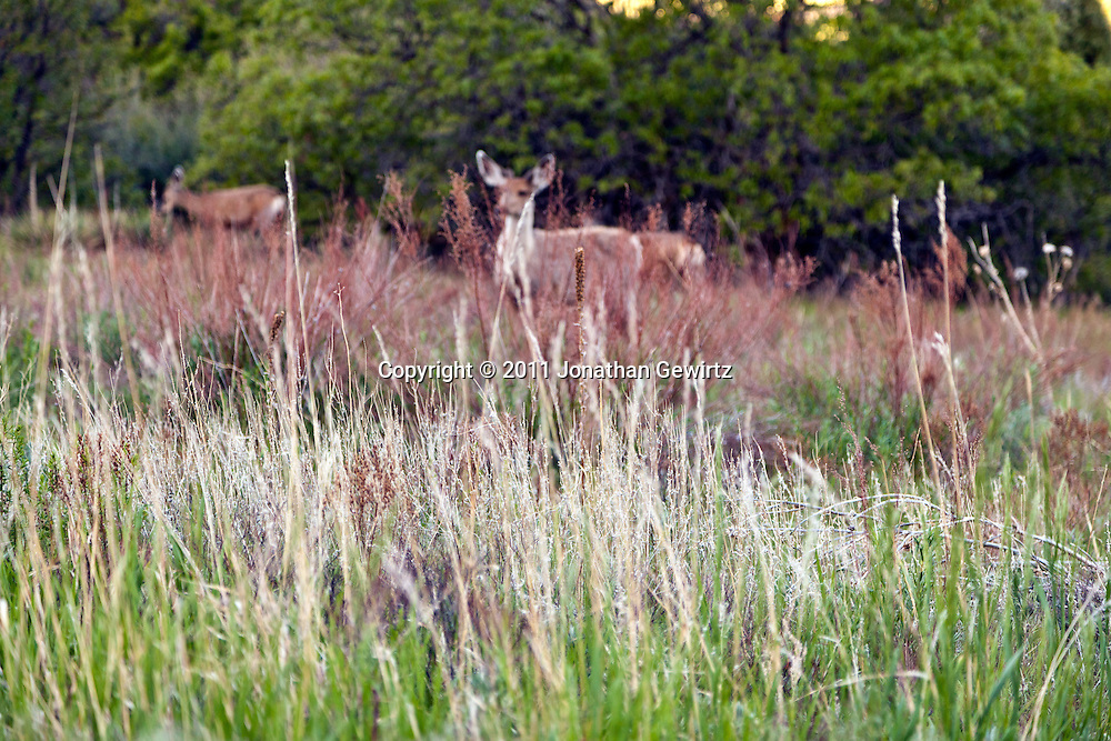 A grassy meadow at sunup with foraging mule deer in the background in the South Valley Park Ken-Caryl Ranch Open Space in Colorado. WATERMARKS WILL NOT APPEAR ON PRINTS OR LICENSED IMAGES.