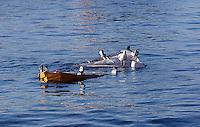 "Rovinj, ""den siste fiskerbyen ved Adriaterhavet"", ""the last fisher village by the Adriatic coast"","