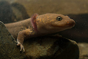Neotenic or paedomorphic adult pacific giant salamander (Dicamptodon tenebrosus) with external gills. Columbia River Gorge, Oregon.