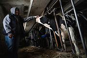 Kerry Wokatsch feeds the few remaining cows on the family farm in Marathon, WI, Monday November 11, 2019. In September they had to stop dairy farming, so they no longer milk the cows.