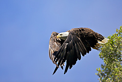 Bald Eagle, Trout Lake , Yellowstone National Park