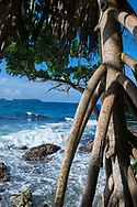 The distinctive aerial prop roots of a pandanus tree on Kranket Island in Madang, Papua New Guinea,