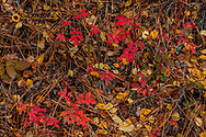 Wild roses in autumn with colorful leaves near Whitefish, Montana, USA