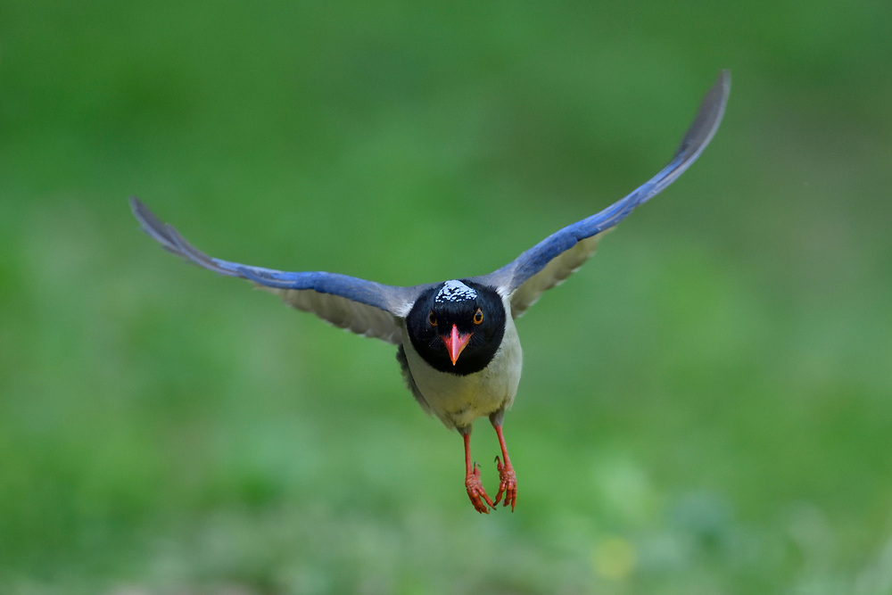 Red-billed blue magpie, Urocissa erythroryncha, Yangxian nature reserve, Shaanxi, China