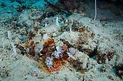 Tasseled Scorpionfish (Scorpaenopsis oxycephala)<br /> Cenderawasih Bay<br /> West Papua<br /> Indonesia