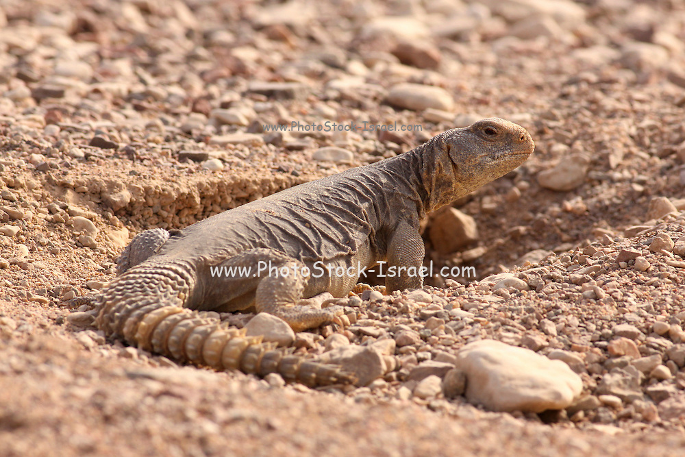 Egyptian Mastigure (Uromastyx aegyptia), AKA Leptien's Mastigure, or Egyptian dab lizard. Egyptian Mastigures can be found in Egypt, Libya and throughout the Middle East. Photographed in Israel in September