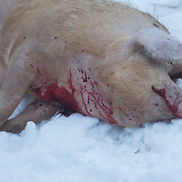 A pig is seen killed during a Pig killing in Hungary and meat processing event in Pomaz (about 20 kilometres North of capital city Budapest), Hungary on January 28, 2017. ATTILA VOLGYI