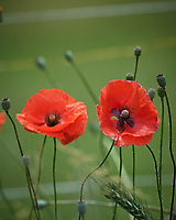 Red/Oriental Poppies. Image taken with a Nikon D5 camera and 600 mm f/4 VR lens