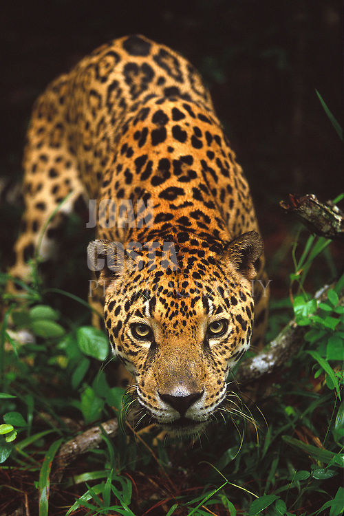 Belize. Belize City. <br /> Jaguar en el zoo de Belize City.<br /> <br /> © JOAN COSTA