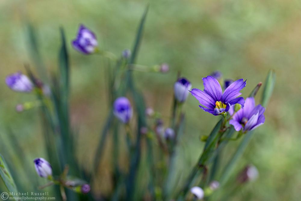 Sisyrinchium angustifolium 'Lucerne' spring blooms in a backyard garden. Also known as Narrow Leaved Blue Eyed Grass.