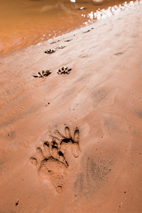 Racoon tracks on a sandy streambed, Grand Gulch Primitive Area, Utah.
