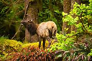 Roosevelt Elk in the Hoh Rainforest, Olympic National Park.