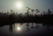 Bald Cypress and sun reflected in pond on a misty morning, Big Cypress National Preserve, Florida.