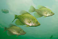 Black Crappie (Trio of Suspended Fish)<br /> <br /> Engbretson Underwater Photography