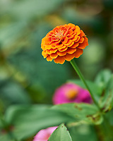 Orange Zinnia. Image taken with a Leica SL2 camera and Sigma 70 mm f/2.8 macro lens