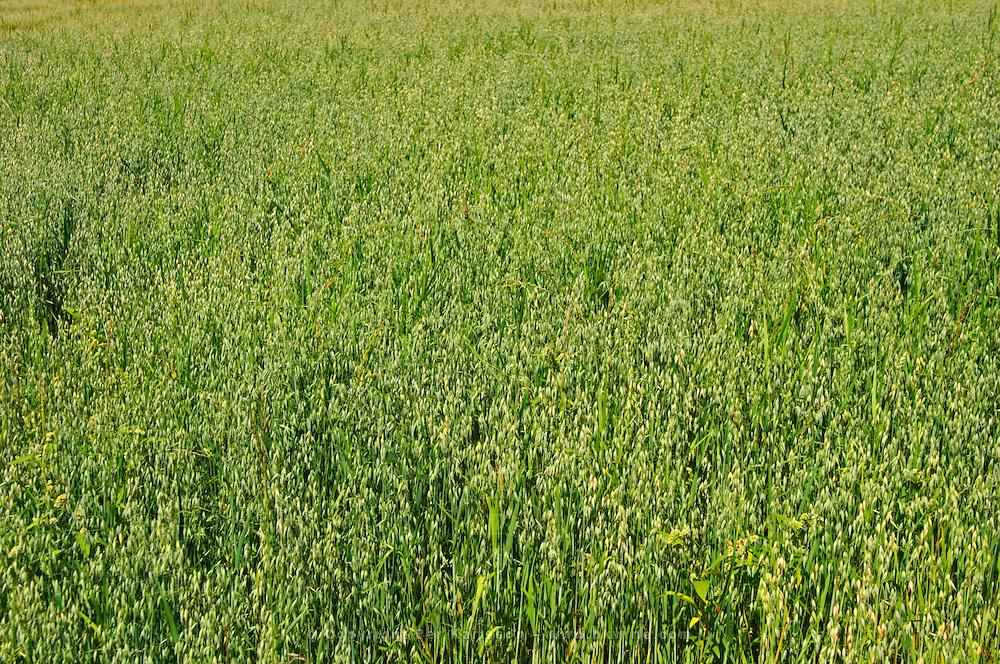 Wheat field. Smaland region. Sweden, Europe.