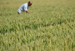 A farmer examines wheat in Qinjiazhuang Village of Zhengding County, north China's Hebei Province, June 6, 2015. June 6 marks the solar term of Grain in Ear and farmers here are busy with collecting ripe crops. EXPA Pictures © 2015, PhotoCredit: EXPA/ Photoshot/ Zhu Xudong<br /> <br /> *****ATTENTION - for AUT, SLO, CRO, SRB, BIH, MAZ only*****