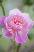 Rosa 'Mortimer Sackler'- English Climbing Rose bred by David Austin (2002)