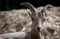 Bighorn Sheep in the Kicking Horse Canyon, East of Golden, BC