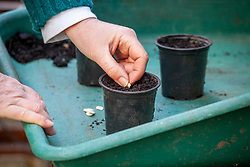 Sowing courgette seeds in individual plastic pots in a greenhouse for early crops