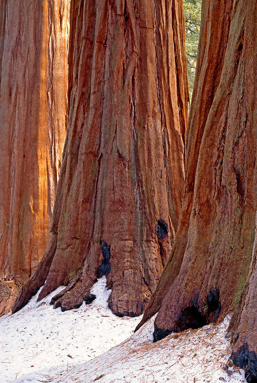 Three Giant Sequoias in Giant Forest,Sequoia National Park, California
