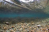 Chub (Squalius cephalus)<br /> On spawning ground, Sava river, Slovenia<br /> Alet oder Döbel (Squalius cephalus)<br /> Auf Laichgrund, Sava, Slowenien<br /> Chevaine (Squalius cephalus)<br /> Sur frayère, Sava, Slovénie<br /> 15-06-2009