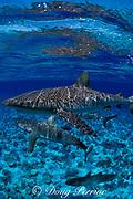 gray reef shark, Carcharhinus amblyrhynchos, with tag on flank below dorsal fin, Bikini Atoll, Marshall Islands, Micronesia ( Central Pacific Ocean )
