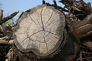 Close up a section through a tree trunk This shows marked growth rings. Visible rings appear as a result of the changing growth rate through the seasons, so each ring equates to one year of growth. The use of patterns of growth rings as an aid to dating a sample is called dendrochronology.