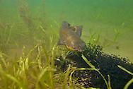 Black Bullhead Guarding Fry<br /> <br /> Engbretson Underwater Photography