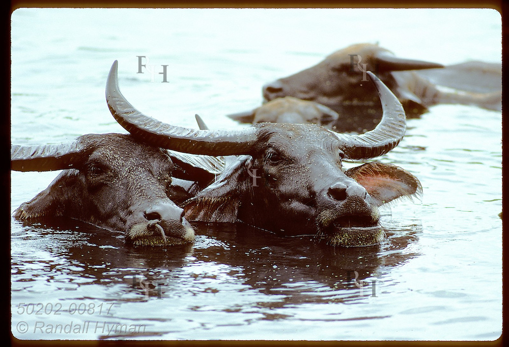 Fly-covered pair of water buffalos strikes a friendly pose while bathing in lagoon; Phuket. Thailand