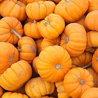 USA, California. Mini Pumpkins.