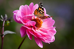 Butterfly on Dahlia 'Classic Rosamunde'