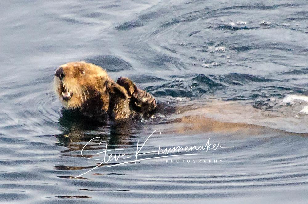 Sea Otters in Alaskan Inside Passage