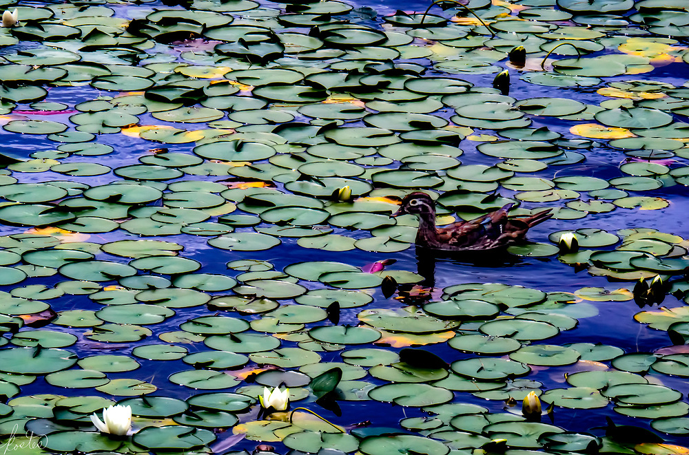 Homage to Manét, a scene in Blowing Rock, NC of a pond filled with water lilies and a wood duck.