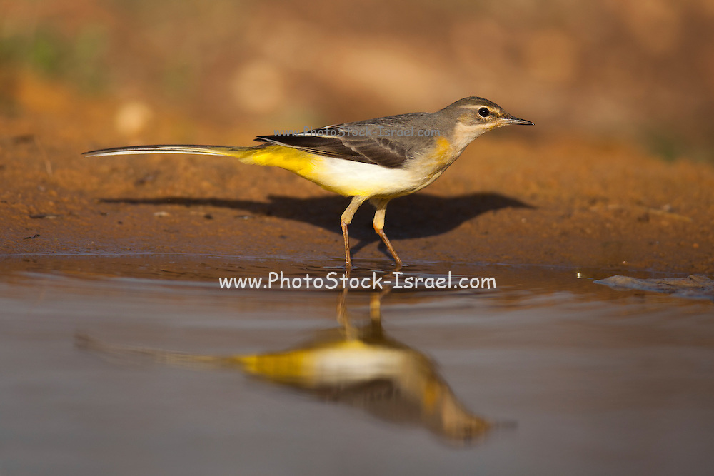 Female Grey Wagtail (Motacilla cinerea). Grey wagtails are found throughout temperate Europe and Asia and parts of northern Africa. They are insectivorous and inhabit areas close to fast flowing streams. The adult male has a black throat, which allows it to be distinguished from the female. Photographed in Ein Afek Nature Reserve, Israel in November