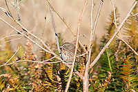 Found commonly across North America near water with plenty of brush for cover, the song sparrow is a favorite of many birders. This dark Pacific Northwest variation showed up early one chilly winter morning at my campsite on Washington's Point Disappointment (extreme SW corner of the state where the Columbia River meets the Pacific Ocean).