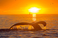 Humpback Whale Dives below the ocean surface as the sunsets over Monterey Bay.