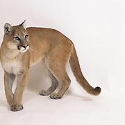 Mountain Lion (Felis concolor) against a white background. Captive Animal