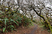 Tree branches tangle in a fractal pattern over a fern lined trail at Patrick's Point State Park, near Eureka, California, USA.
