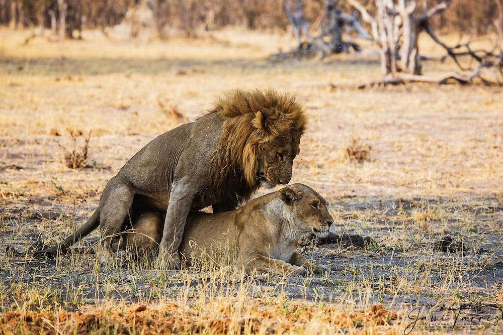 A pair of mating African lions (Leo Panthera) , Chobe National Park, Botswana, Africa
