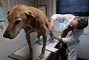 Liv1/20/03  Photo by Mara Lavitt-WoofPuncture 1<br /> ML0048A #6889<br /> Rhodesian ridgeback Keta receives her pinpricks stoically as veterinarian Kenton Moore of the Clinton Veterinary Hospital inserts acupuncture needles.  Keta is receiving acupuncture to help with arthritis pain.